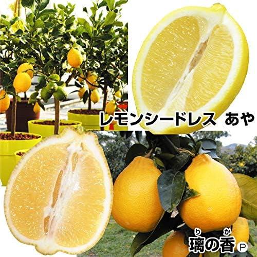 国華園 果樹苗 カンキツ 高級レモンセット 2種2株