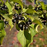 10 Seeds of European Buckthorn / Rhamnus Cathartica