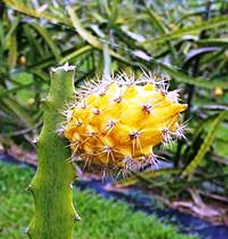 Amazoncom Dragon Fruit Yellow Includes 4 Four Plants Garden