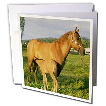 3dRose TDSwhite - Horse Equine Photos - Nursing Foal Field - 12 Greeting Cards with Envelopes (gc_285527_2)
