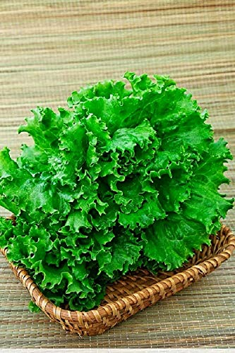 Lettuce Salad Odessa Curve Organic Seeds up to 2500 Seeds