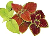 Coleus Rainbow Mix 300 Seeds Color Red Green Purple Leaves 19 (300 Seeds)