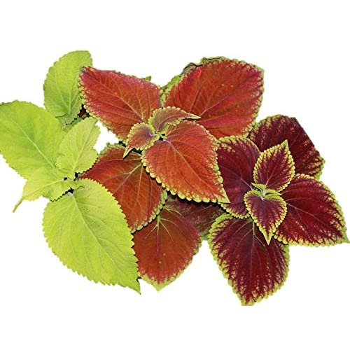 Image of Coleus Rainbow Mix 200K Seeds, or 2 oz Color Red Green Purple Leaves 19 (400K Seeds, or 1/4 Pound)