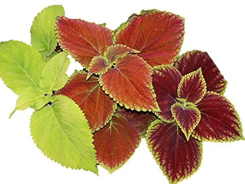 Coleus Rainbow Mix Seeds 300 to 1/4LB Color Red Green Purple Leaves 19 (9600 seeds) by Zellajake Farm and Garden