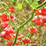 Capsicum Baccatum Bishop's Crown Pepper 100 Seeds