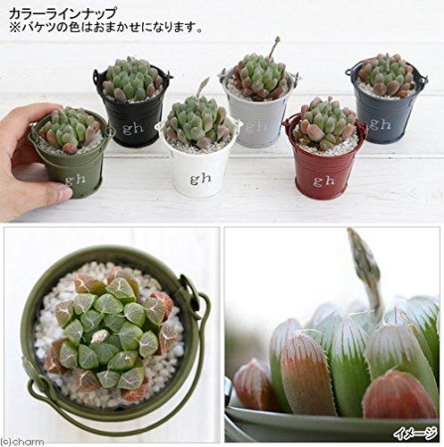 (観葉)私のオアシスハオルチアのミニバケツ植え(1鉢)(説明書付)本州・四国限定