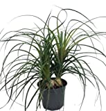 "Ponytail Palm - 6"" pot - Beaucarnea - Great Indoors!"