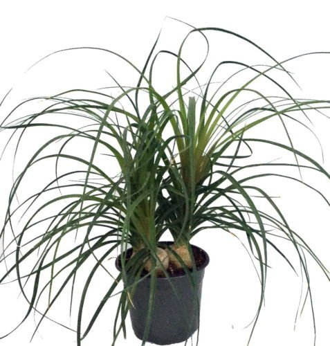 Ponytail Palm - 6'' pot - Beaucarnea - Great Indoors! by Hirt's Gardens