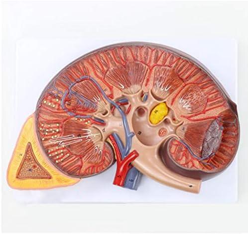 腎臓モデル、 脱構築、泌尿器科、静脈、腎動脈、 人間の副腎は3倍、2つの部分に拡大され、 そしてデジタルロゴがあり、 テキストの説明付き。