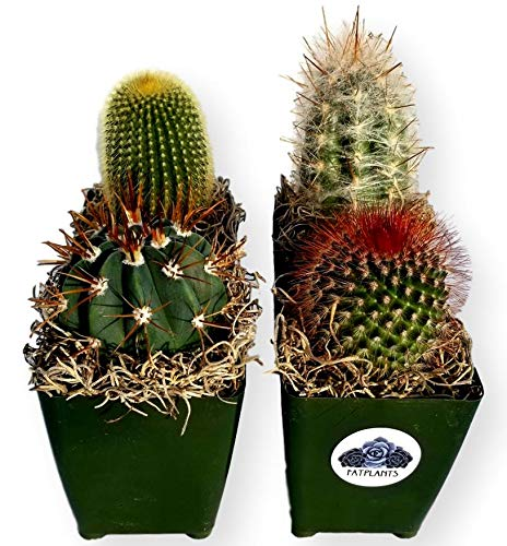 Fat Plants San Diego Large Cactus Plant(s) -