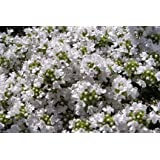Thyme Snowdrift herb aromatic leaves white flowers summer loved by bees ground cover 9cm pot FREE DELIVERY