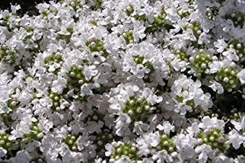 Thyme Snowdrift Herb Aromatic Leaves White Flowers Summer Loved By