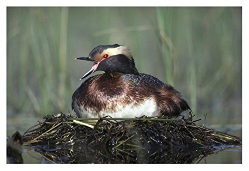 (Global Gallery Art on a Budget DP-451976-2436 Tim Fitzharris Horned Grebe Parent Calling While Incubating Eggs On Floating Nest North America Unframed Giclee on Paper Print, 24