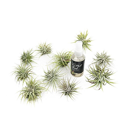 makerskit-tillandsia-ionantha-guatemala-air-plant-ten-pack-organic-plant-food