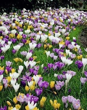 Mixed Color Crocus Saffron Bulbs,Happy Joy Flowers,Bonsai Pot Plant for Home Garden,Easy to plant-50 (Mixed Colors Flower Bulbs)