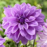 6-Pack: Dahlia Lilac Time Flower Bulbs Directly from Holland
