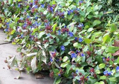 Classy Groundcovers - Dwarf Plumbago, Hardy Blue Plumbago Chinese Leadwort {25 Pots - 3 1/2 in.}