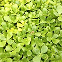 Purslane Golden 50+ Seeds Omega 3 Edible Medicinal Easy HERB Herbal Remedy Tea
