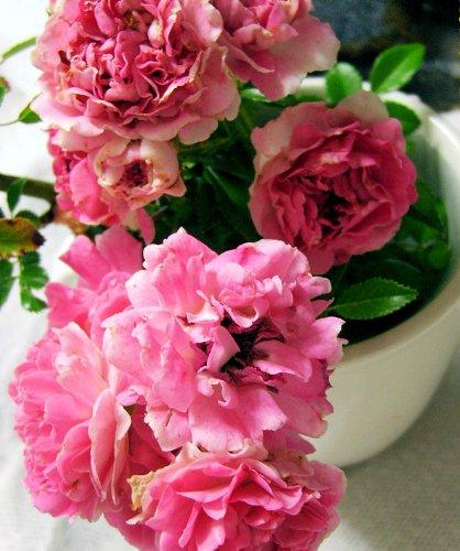 rden Antique Heirloom Climbing Rambler Rose Bush Live Plant Double Pink Starter Size 4 Inch Pot Emeralds TM ()