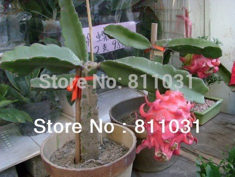 Vendita calda 100pcs Pitaya impianto di semi di drago frutta semi bonsai casa fai da te giardino