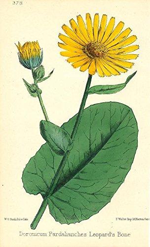 Leopard's Bone 1869 fine antique color flower botanical print