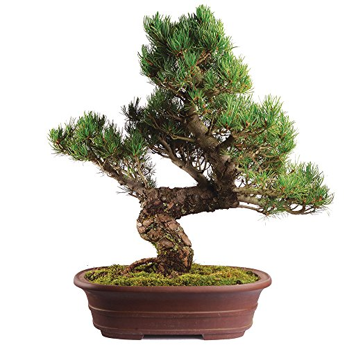 - Brussel's Live Japanese Five Needle Pine Specimen Outdoor Bonsai Tree - 40 Years Old; 18
