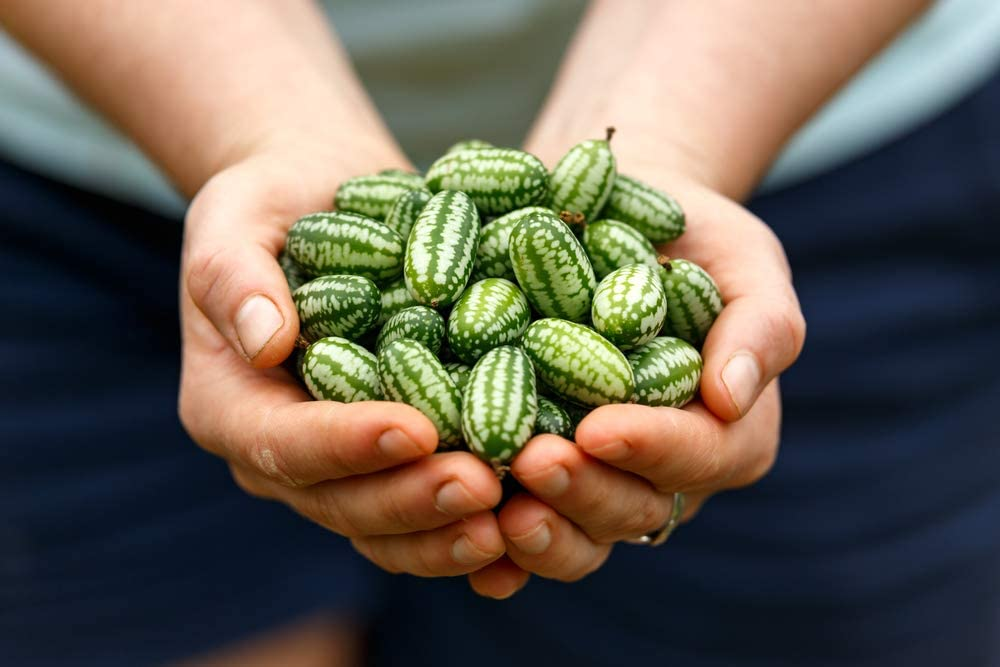 Mouse Melon Seeds | 20 Seeds | Grow This Exotic and Rare Garden Fruit | Cucamelon Seeds, Tiny Fruit to Grow