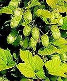 HUMULUS LUPULUS 'AUREUS' - STARTER PLANT