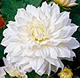 Snow Country Dinnerplate Dahlia - 2 Bulb Clumps