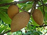Pantin (key West) Mamey Sapote Tropical Fruit Trees