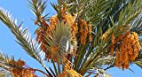 True Date Palm, Phoenix Dactylifera, Tree 5 Seeds