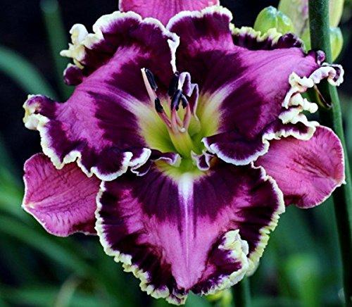 picassos-intrique-daylily-5-seeds-hemerocallis-upc-647923989021
