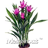 100PCS Rare Flower Seeds Beautiful Curcuma Alismatifolia Flower Seeds colorful Curcuma Alismatifolia Seeds home & garden