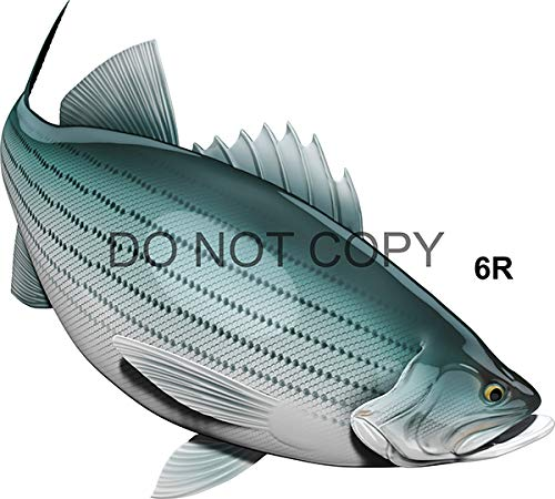 Striped Bass Beautiful Fish Decal for Your Boat, Vehicle, Etc. Many Sizes and Styles Available 12