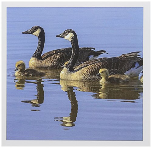 (3dRose Canada Goose birds, San Francisco Bay, California USA - US05 TNO0064 - Tom Norring - Greeting Cards, 6 x 6 inches, set of 6 (gc_142897_1) )