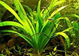 Live Broadleaf Sagittaria Aquarium Plant - Easy to Grow, val, java, marimo, sag