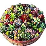 Kisshes Seeds Succulent Seeds 100pcs/Bag Mix Flower Seeds Garden Supplies Beautiful Landscaping