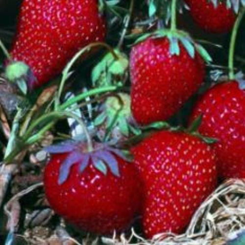 100-all-star-strawberry-seeds