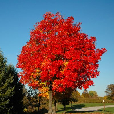 October Glory Maple by Brighter Blooms