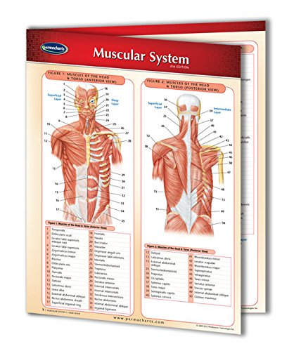 Muscular System Guide - Laminated Medical Quick Reference Guide by Permacharts (Reference Quick Index System)