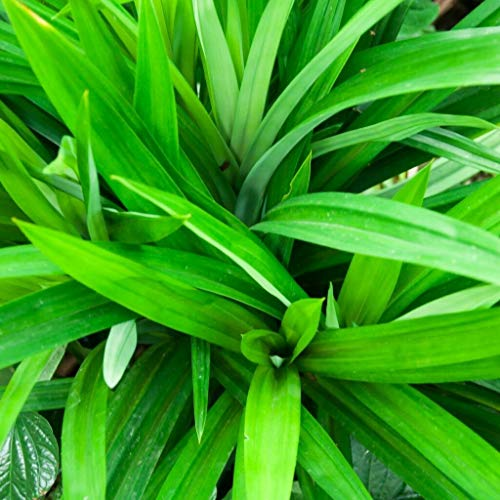 - 50 Pcs Pandan Flower Grass Seeds Fragrant Annual Rare Viable Bonsai Plants Potted