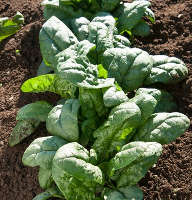 David's Garden Seeds Spinach Kookaburra J3217QL (Green) 500 Hybrid Seeds