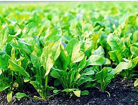 Insalata di campo vert de Cambra di Quedlinburger sementi semi nastro campo semi insalata