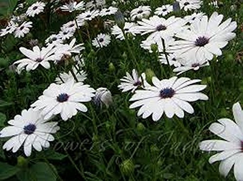 African Daisy - White - 50 seeds