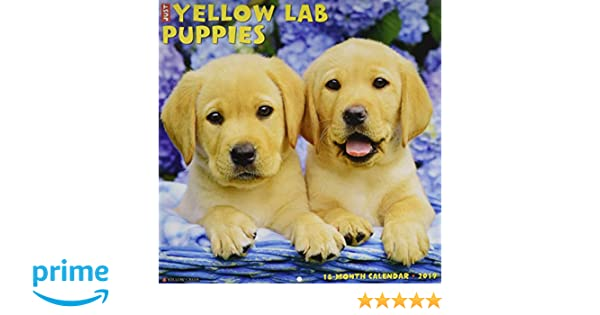 Just Yellow Lab Puppies 2019 Wall Calendar Dog Breed Calendar