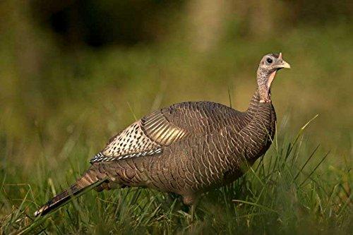 Dave Smith Decoys Upright Hen Turkey Decoy