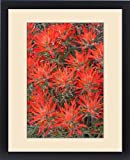 Framed Print of USA, Wyoming, Lincoln County, Desert Paintbrush close-up of flowers