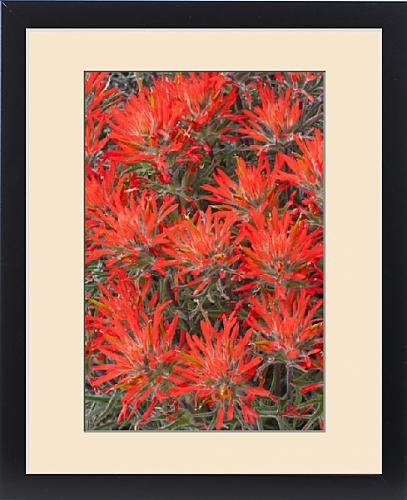 Framed Print of USA, Wyoming, Lincoln County, Desert Paintbrush close-up of flowers by Fine Art Storehouse