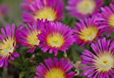 Hot Pink Wonder Ice Plant - Perennial - Delosperma - Live Plant - Quart Pot