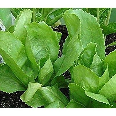 Broadleaf Batavian Endive Seed - leaves are lettuce-like, large, broad!!!(100 - Seeds) : Garden & Outdoor